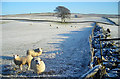NX8682 : Sheep in a Frosty Field by Iain Thompson