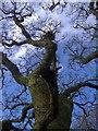 SN7566 : Oak tree : Week 1