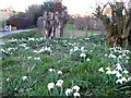 SP9406 : Snowdrops in the verge by Rob Farrow