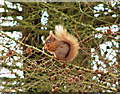 NX2464 : Red squirrel : Week 8