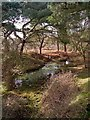 SU2511 : Pond within trees on Stoney Cross Plain, New Forest : Week 9