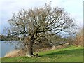 SU1782 : The Council Oak in late winter, Coate Water, Swindon by Brian Robert Marshall