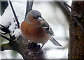 NH8707 : Male Chaffinch, Inshriach by sylvia duckworth