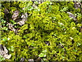SK1769 : Great Shacklow Wood - Mosses on the ground next to the footpath by Alan Heardman