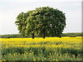 TL1299 : Trees In Oil Seed Rape by Michael Trolove