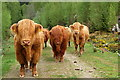 NH2601 : Highland Cattle : Week 19