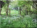 SJ5060 : Newton-by-Tattenhall - wild garlic beside the Eddisbury Way by Mike Harris
