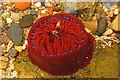 NJ8864 : Aberdour bay: beadlet anemone in rock-pool : Week 22