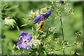 SK7054 : Large Skipper feeding on Meadow Cranesbill by Alan Murray-Rust