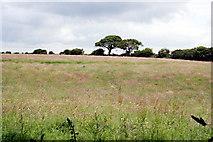 SW7643 : Field of long grass by Tony Atkin