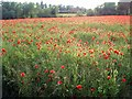 SK5244 : A field of poppies by Lynne Kirton