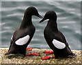 J5082 : Black Guillemots, Bangor [5] by Rossographer