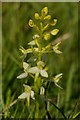 SU1163 : Lesser Butterfly Orchid (Platanthera bifolia) by Ian Capper
