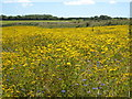 SW7525 : Field of Corn Marigold & Cornflower at Kestle by Rod Allday