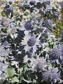 SW6424 : Sea Holly on Loe Bar by Rod Allday