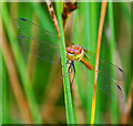SD5800 : Common Darter at Three Sisters by Gary Rogers