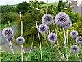 SE2602 : Echinops growing at the entrance to Willow Lane : Week 33