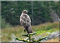 NG8440 : Watchful buzzard by sylvia duckworth