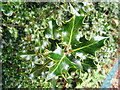 TQ4470 : Woodland Holly Bush by Adrian Cable