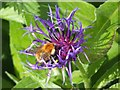 NS3876 : Perennial Cornflower (Centaurea montana) by Lairich Rig