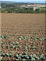 SW5330 : Field of young cabbages near Goldsithney by Rod Allday