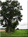 TF9433 : Tall tree in hedgerow by Evelyn Simak