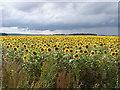 TF0352 : Sunflower Sundance by Ian Paterson