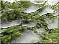 SO6424 : Festooned pine : Week 37