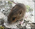 NJ5267 : Wood Mouse (Apodemus sylvaticus) by Anne Burgess
