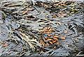 NU2612 : Seaweed on the rocks : Week 38