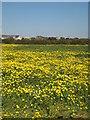 SW6028 : Field of Corn Marigolds near Penhale Jakes Farm by Rod Allday