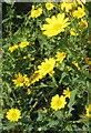 SW6028 : Corn Marigolds (Chrysanthemum segetum) by Rod Allday