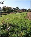 SX7962 : Free range hens, Dartington by Derek Harper