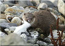 HP5605 : Otter (Lutra lutra) on Westing beach by Mike Pennington