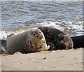 TG4722 : Grey seals (Halichoerus grypus) by Evelyn Simak
