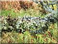NS4276 : A lichen - Platismatia glauca by Lairich Rig