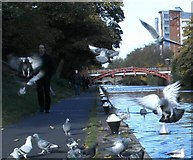 SK5803 : Pigeons along the Grand Union Canal by Mat Fascione