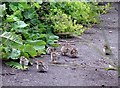 NY0981 : Red-legged partridge chicks by Lynne Kirton