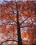 SX9193 : Autumn colour, Streatham Campus by Derek Harper