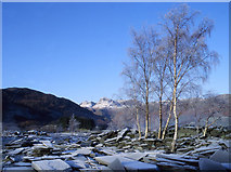 NY3204 : Silver birch in Elterwater quarry by Tom Richardson