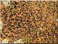 NS3778 : A lichen: Rhizocarpon oederi by Lairich Rig