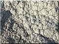 NS3778 : A lichen - Pertusaria corallina by Lairich Rig