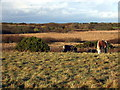 SM7826 : Ponies on the heath by ceridwen