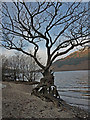 NN3300 : Gnarled Tree, Loch Lomond by wfmillar
