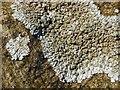 NS3676 : A lichen - Physcia caesia by Lairich Rig