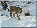 NH8003 : Amur Tiger at Highland Wildlife Park by sylvia duckworth