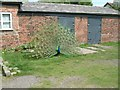 SD3605 : Peacock at Lydiate Hall Farm by Gerald England