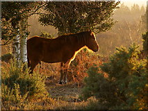 SU2609 : Colt in the sun, Acres Down, New Forest by Jim Champion