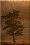 SU2609 : Scots pine on the heath, Acres Down, New Forest by Jim Champion