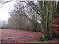 TG2726 : Beeches growing on old ridge boundary by Evelyn Simak